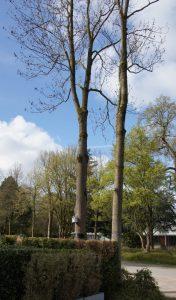 Stiel-Eiche am Schlosspark Bochum